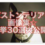 ボストンテリア成犬の秀逸画像集めました☆一挙30選大公開!!
