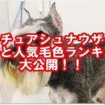 ミニチュアシュナウザーの性格と人気毛色ランキング大公開!!
