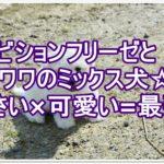 ビションフリーゼとチワワのミックス☆小さい×かわいい=癒し