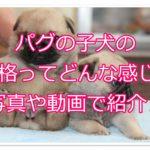 パグの子犬の性格としつけ方について☆甘やかしすぎに注意!?