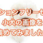ビションフリーゼ子犬の画像であなたも癒されてみませんか??