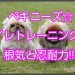 ペキニーズのトイレトレーニング☆大切なのは根気と忍耐力!!