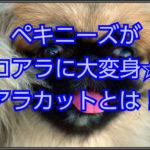ペキニーズがコアラに変身!!人気のコアラカットを徹底解説☆