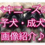 ペキニーズの可愛さ徹底解説☆子犬と成犬の画像10選を紹介♪