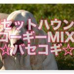 バセットハウンドとコーギーのミックス犬「バセコギ」って!?