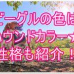 ビーグルの色はハウンドカラー★明るく元気な性格にも注目!!