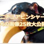 ミニチュアピンシャー☆可愛さ抜群☆成犬の画像25枚大公開!