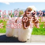 アメリカンコッカースパニエル☆子犬の画像をご紹介します♪