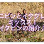 ミニチュアピンシャーとイタリアングレーハウンドミックス!!