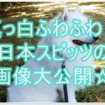 真っ白ふわふわ!!日本スピッツの子犬!!画像と動画を大公開☆