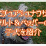 ミニチュアシュナウザーソルト&ペッパーの子犬情報をご紹介