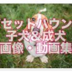 バセットハウンドの子犬時代と成犬時代!!画像・動画集25選!!
