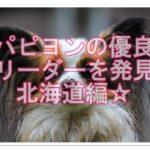 パピヨンのブリーダーを探そう♪優良ブリーダーin北海道☆!!