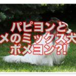 パピヨンとポメラニアンのミックス犬☆ポメヨンの性格って?!