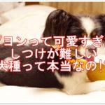 パピヨンって可愛すぎで☆しつけが難しい犬種って本当なの!?
