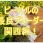 ビーグルを取り扱う最良ブリーダー★調査しました!!関西編☆