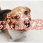 ビーグルとジャックラッセルテリアのミックス犬!?どんな犬??