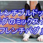 フレンチブルドッグとパグのミックス犬☆フレンチパグって!?