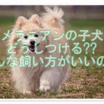 ポメラニアンの子犬☆どうしつける??どんな飼い方がいいの??