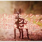 ミニチュアピンシャーとポメラニアンのミックス☆ポメピン!!