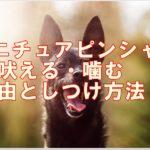 ミニチュアピンシャーの吠える・噛む理由としつけ方を解説!!