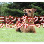 ミニチュアピンシャーxダックス☆ダッピンシャーはどんな犬?