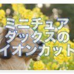 ミニチュアダックスのライオンカットが可愛すぎ!!画像30選♪