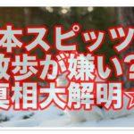 日本スピッツが散歩嫌いってホントなの?!その真相を大解明☆