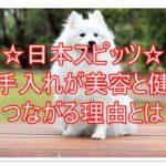 日本スピッツ☆毛の手入れが美容と健康につながる理由とは??