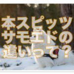 可愛くて真っ白な見た目の日本スピッツとサモエドの違いは??