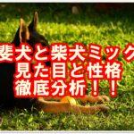珍しい!?甲斐犬と柴犬のミックス犬について調べてみました!!