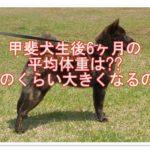 甲斐犬の生後6ヶ月の平均体重を調査☆どのくらい大きくなる?