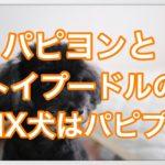パピヨンとトイプードルのミックス犬パピプーについて紹介☆
