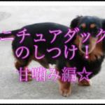 ミニチュアダックスフンドのしつけ方法!!甘噛み編をご紹介!!
