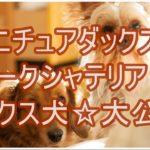 ミニチュアダックスとヨークシャテリアのミックス犬!!大公開