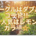 ビーグルはダブルコート☆最近人気が高まっている毛色とは⁇