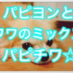 パピヨンとチワワのミックス犬パピチワ☆見た目はそっくり!?