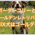 ボーダーコリーとゴールデンレトリバーのMIX犬をご紹介☆