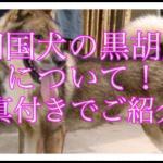 四国犬の毛色の1つである黒胡麻について写真付きでご紹介☆