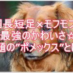 ミニチュアダックス×ポメラニアン☆話題のミックス犬を調査!