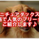ミニチュアダックス☆関西で人気のブリーダーご紹介します♪