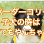 ボーダーコリーの子犬はとってもやんちゃでいたずら大好き☆
