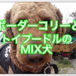 ボーダーコリーとトイプードルのミックス犬ボードルを紹介☆