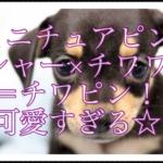 ミニチュアピンシャーとチワワのミックス犬⁈可愛すぎます!!