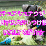 ミニチュアシュナウザーのしつけ☆犬のしつけ教室DOGLY紹介!
