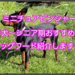 ミニチュアピンシャーのおすすめの餌☆子犬~シニア期の紹介