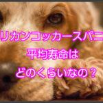 アメリカンコッカースパニエル☆平均寿命はどのくらいなの?