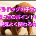 ブルドッグの子犬の飼い方は?!育てる秘訣は根気よく関わる!!