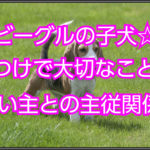 ビーグルの子犬のしつけ☆主従関係をはっきりさせる大切さ!!