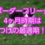 ボーダーコリー生後4ヶ月しつけ☆最適期に愛犬との絆を結ぶ!